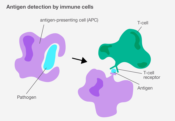 Antigen detection by immune cells: Diagram showing antigen-presenting cell (APC) and Pathogen and the immune response triggered when a T-cell detects a harmful antigen.