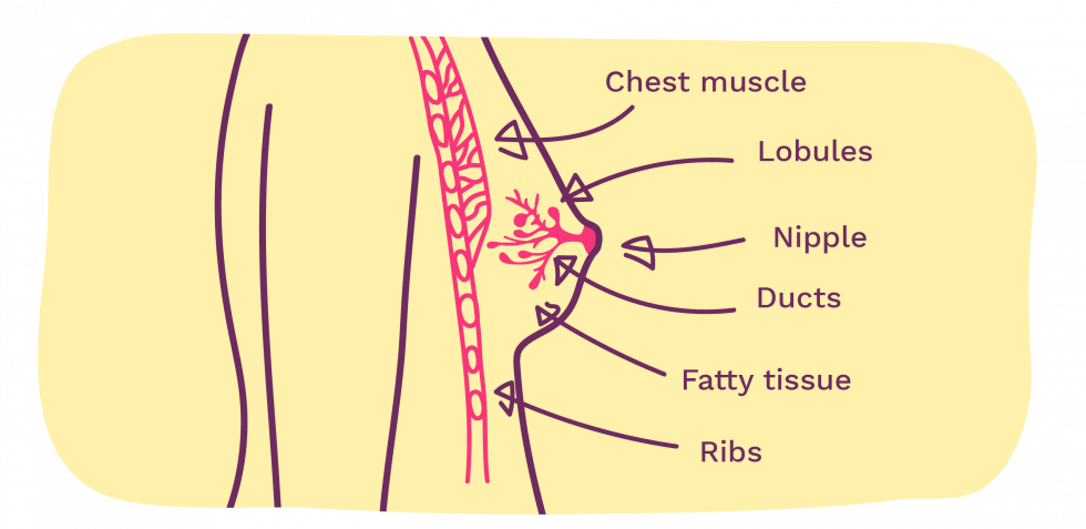 Picture showing the breast and labels