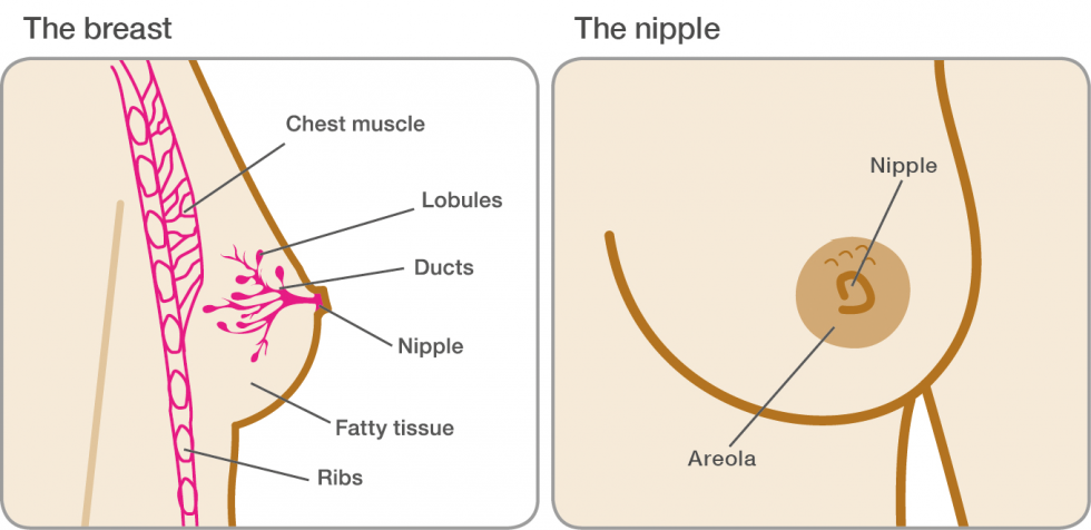 A diagram of the breast and nipple