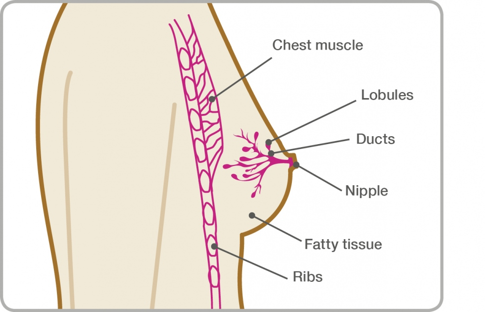 Diagram of the breast