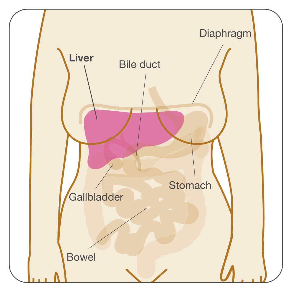 Diagram of the liver's location within the body