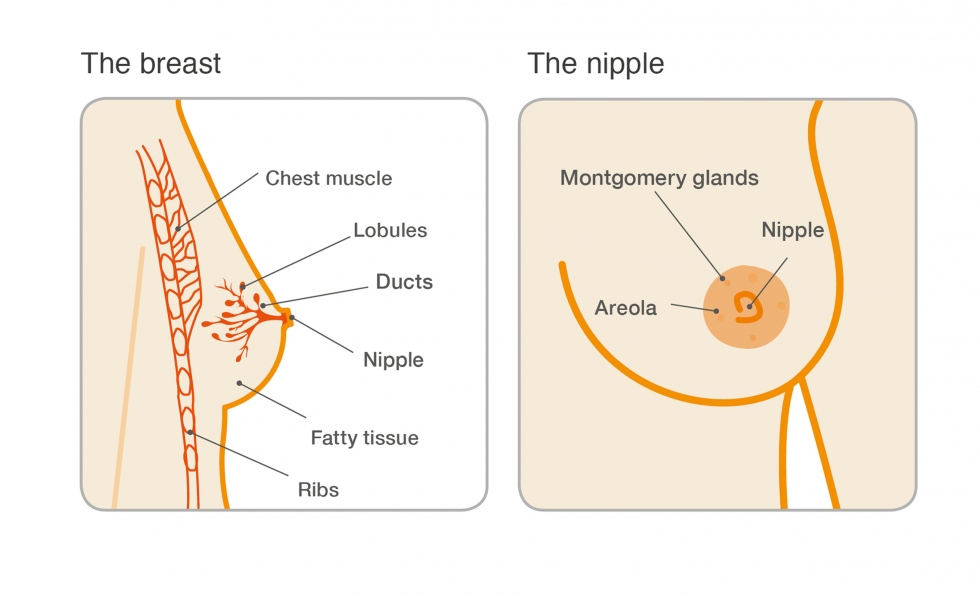 breast diagram illustration checking