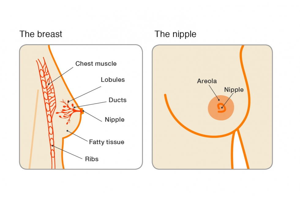Breast and nipple illustration