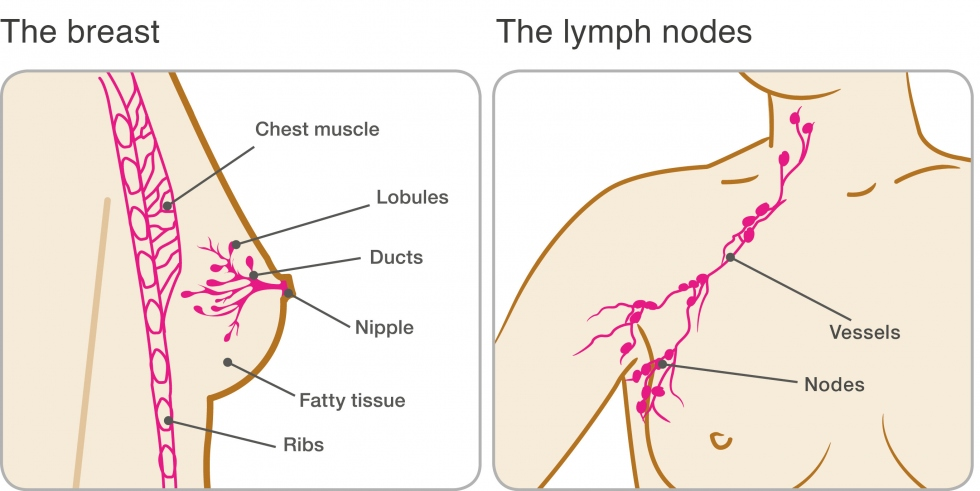 image of the breast and lymph nodes